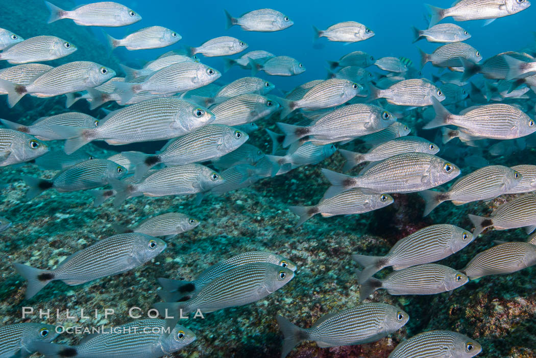Spottail grunt fish schooling, Isla San Francisquito, Sea of Cortez. Isla San Francisquito, Baja California, Mexico, natural history stock photograph, photo id 32573