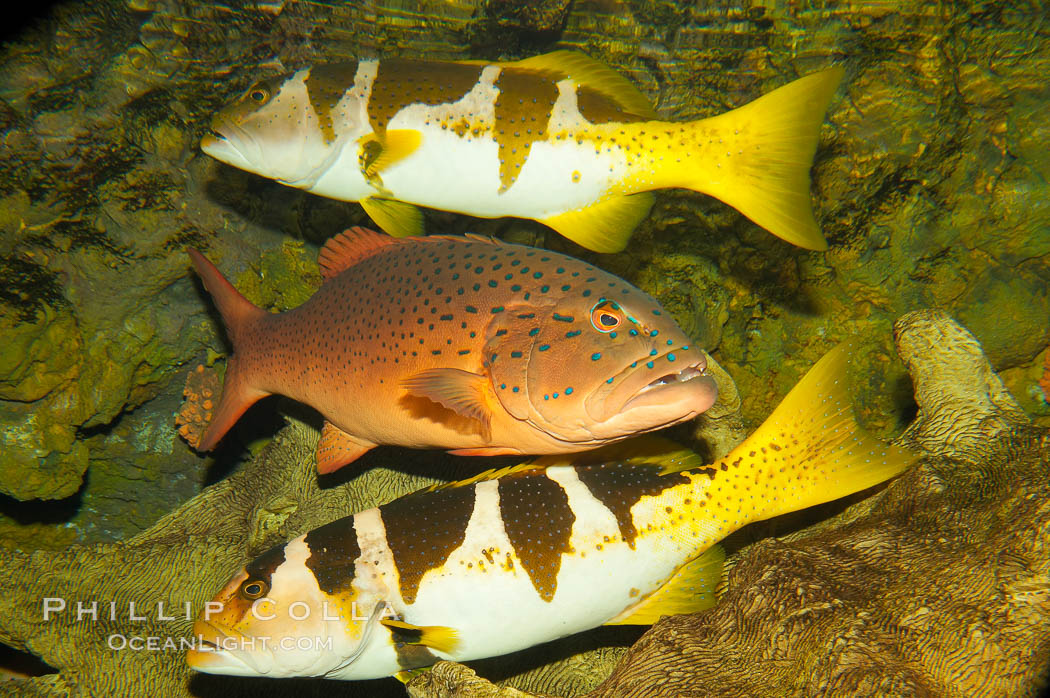 Spotted coralgrouper (center) and two saddleback coralgrouper (top, bottom)., Plectropomus maculatus, Plectropomus laevis, natural history stock photograph, photo id 12918
