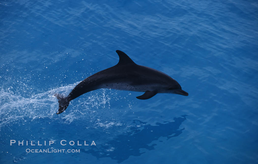 Image 00684, Atlantic spotted dolphin. Bahamas, Stenella frontalis, Phillip Colla, all rights reserved worldwide. Keywords: animal, atlantic, atlantic spotted dolphin, bahamas, cetacea, cetacean, delphinidae, dolphin, dolphin behavior, dolphin jumping leaping, frontalis, mammal, marine mammal, ocean, oceans, odontoceti, stenella, stenella frontalis, wildlife.