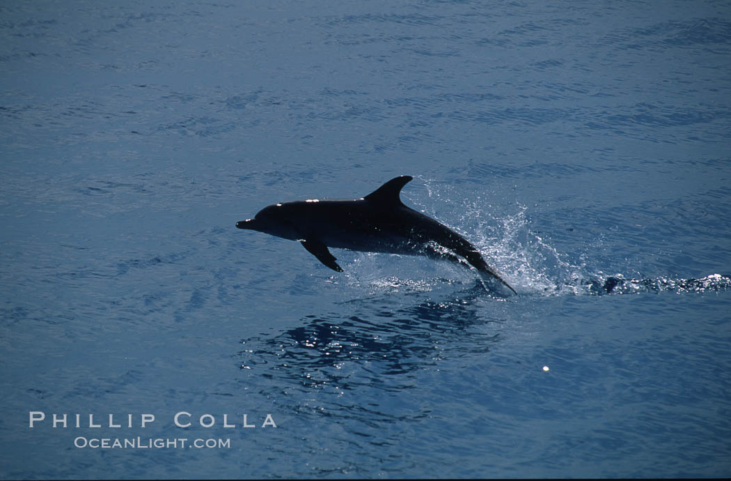 Atlantic spotted dolphin. Bahamas, Stenella frontalis, natural history stock photograph, photo id 00681