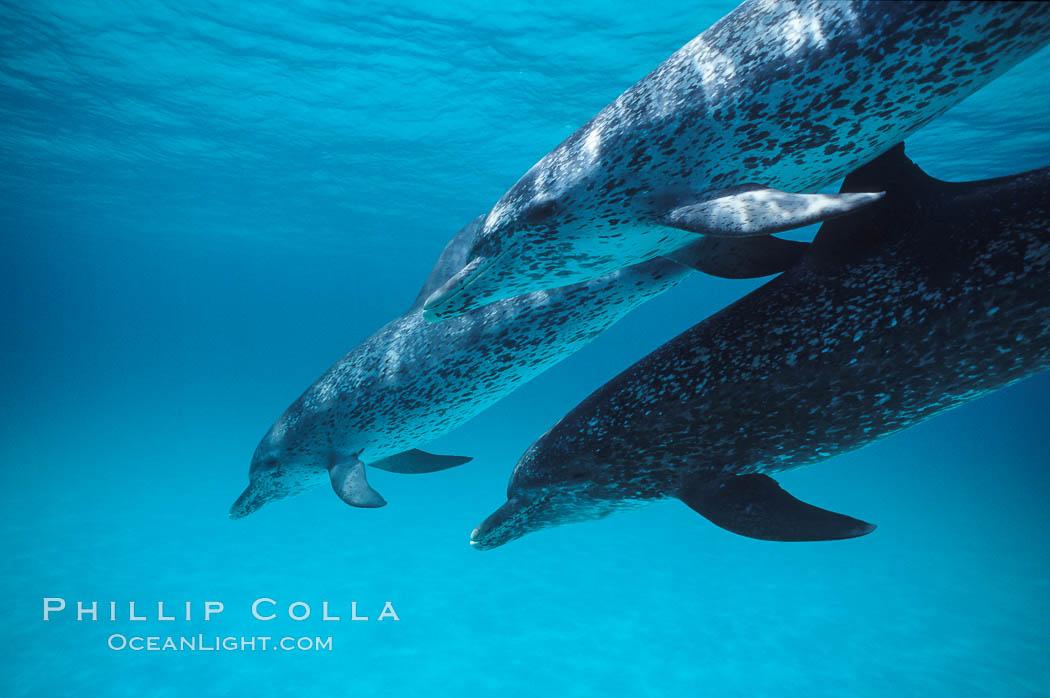 Atlantic spotted dolphin. Bahamas, Stenella frontalis, natural history stock photograph, photo id 00015
