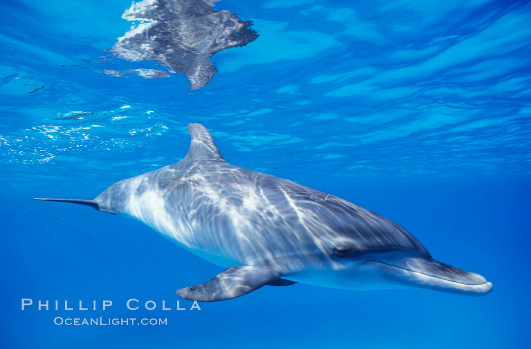 Image 00679, Atlantic spotted dolphin, juvenile. Bahamas, Stenella frontalis