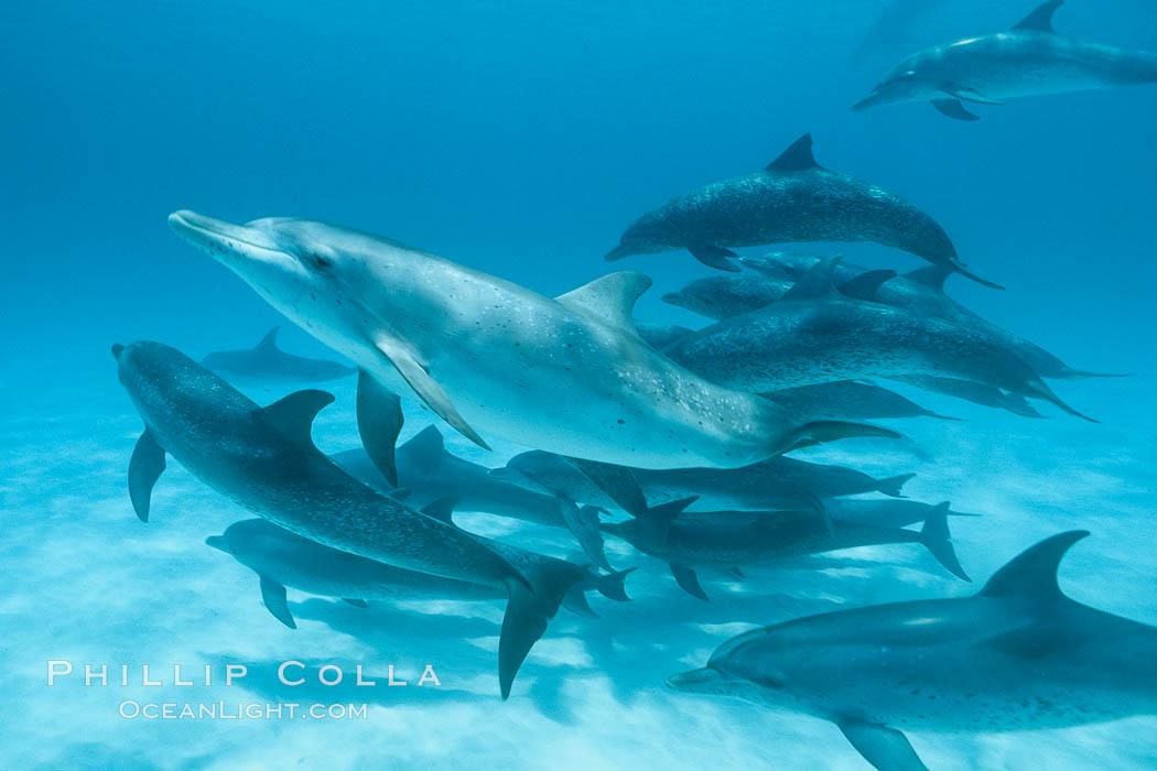 Atlantic spotted dolphin. Bahamas, Stenella frontalis, natural history stock photograph, photo id 00001