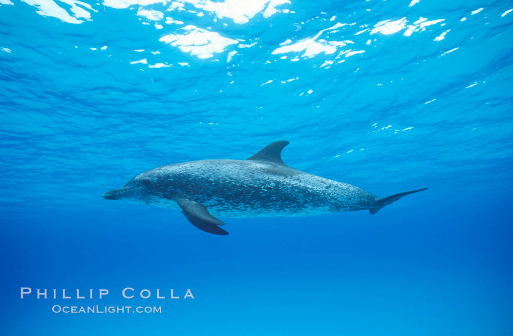 Atlantic spotted dolphin. Bahamas, Stenella frontalis, natural history stock photograph, photo id 04889