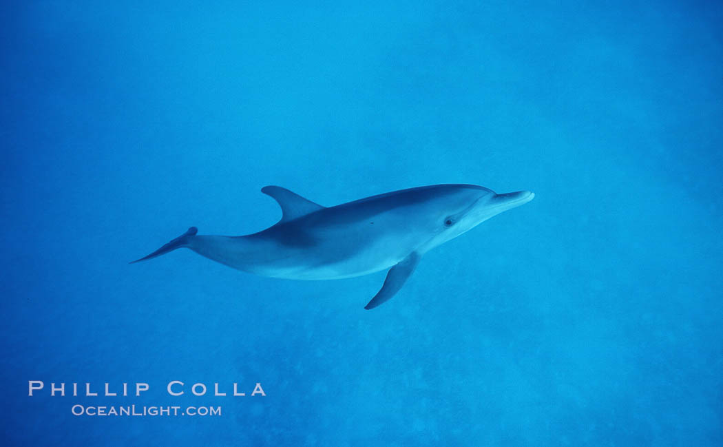 Atlantic spotted dolphin. Bahamas, Stenella frontalis, natural history stock photograph, photo id 04901