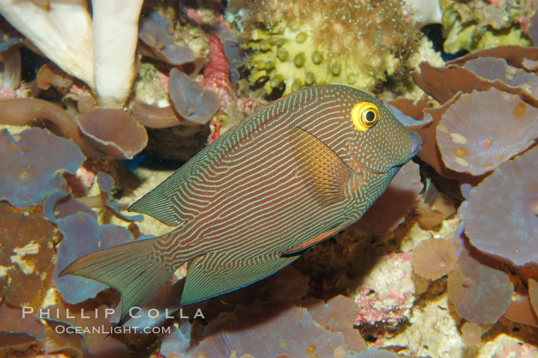 Kole tang (aka, goldring surgeonfish)., Ctenochaetus strigosus, natural history stock photograph, photo id 08674