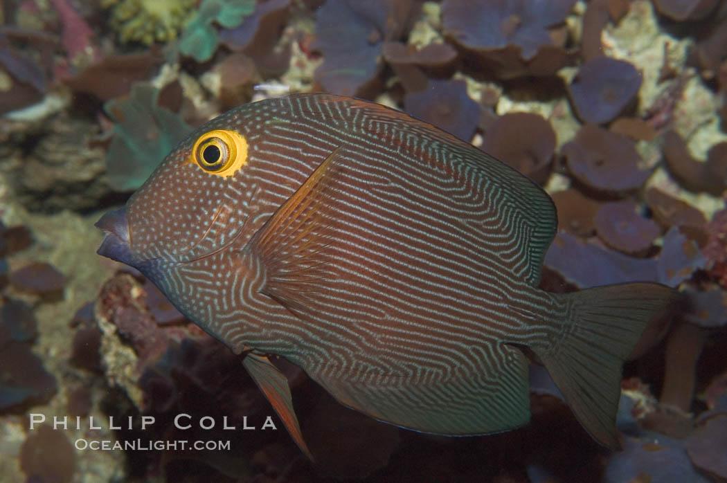 Kole tang (aka, goldring surgeonfish)., Ctenochaetus strigosus, natural history stock photograph, photo id 07827