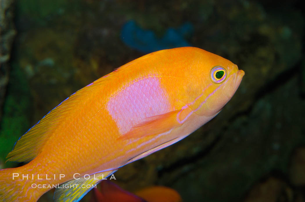 Square-spot fairy basslet, male coloration., Pseudanthias pleurotaenia, natural history stock photograph, photo id 08858