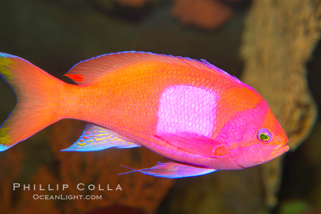 Square-spot fairy basslet, male coloration., Pseudanthias pleurotaenia, natural history stock photograph, photo id 12863