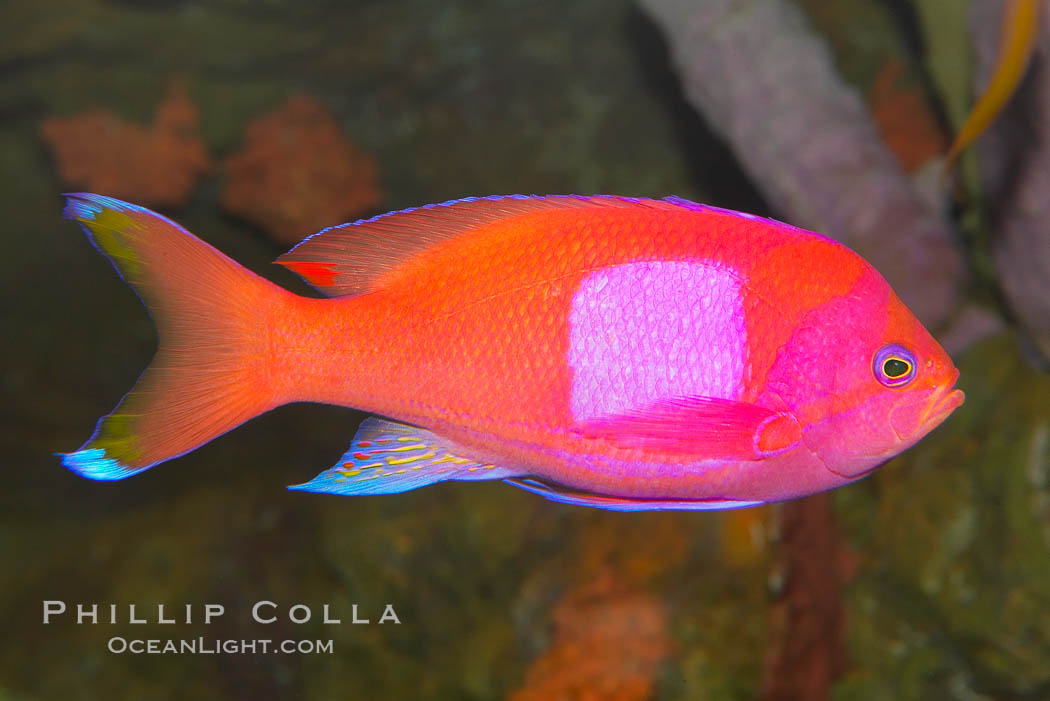 Square-spot fairy basslet, male coloration., Pseudanthias pleurotaenia, natural history stock photograph, photo id 12865