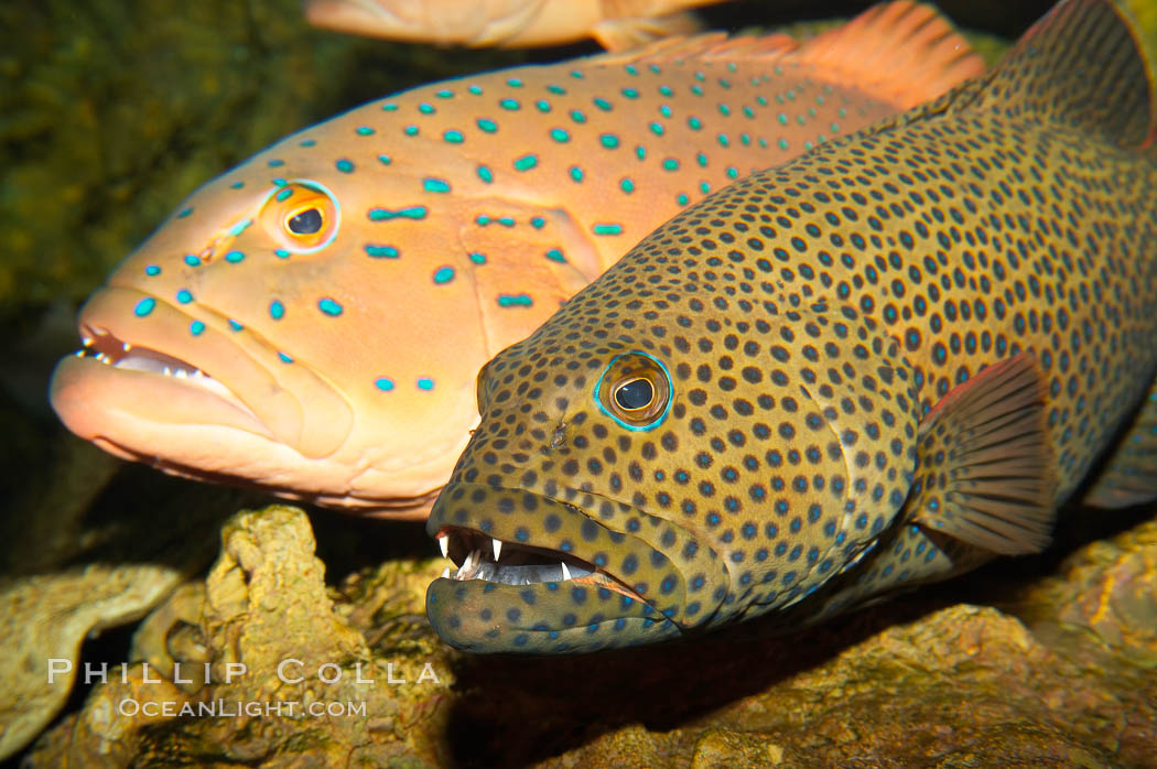 Squaretail coralgrouper (front) and spotted coralgrouper (rear)., Plectropomus areolatus, Plectropomus maculatus, natural history stock photograph, photo id 12914