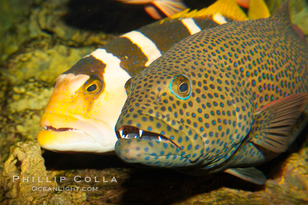 Squaretail coralgrouper (front) and saddleback coralgrouper (rear)., Plectropomus areolatus, Plectropomus laevis, natural history stock photograph, photo id 12916