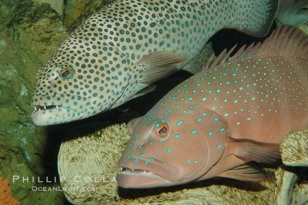 Squaretail coralgrouper (upper) and spotted coralgrouper (lower)., Plectropomus areolatus, Plectropomus maculatus, natural history stock photograph, photo id 08835