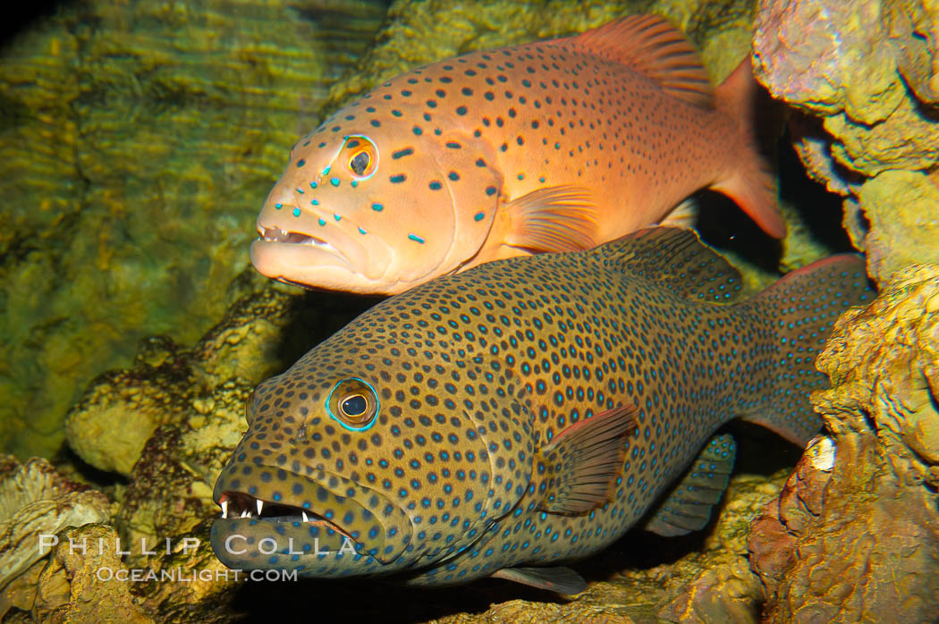 Squaretail coralgrouper (front) and spotted coralgrouper (rear)., Plectropomus areolatus, Plectropomus maculatus, natural history stock photograph, photo id 12915