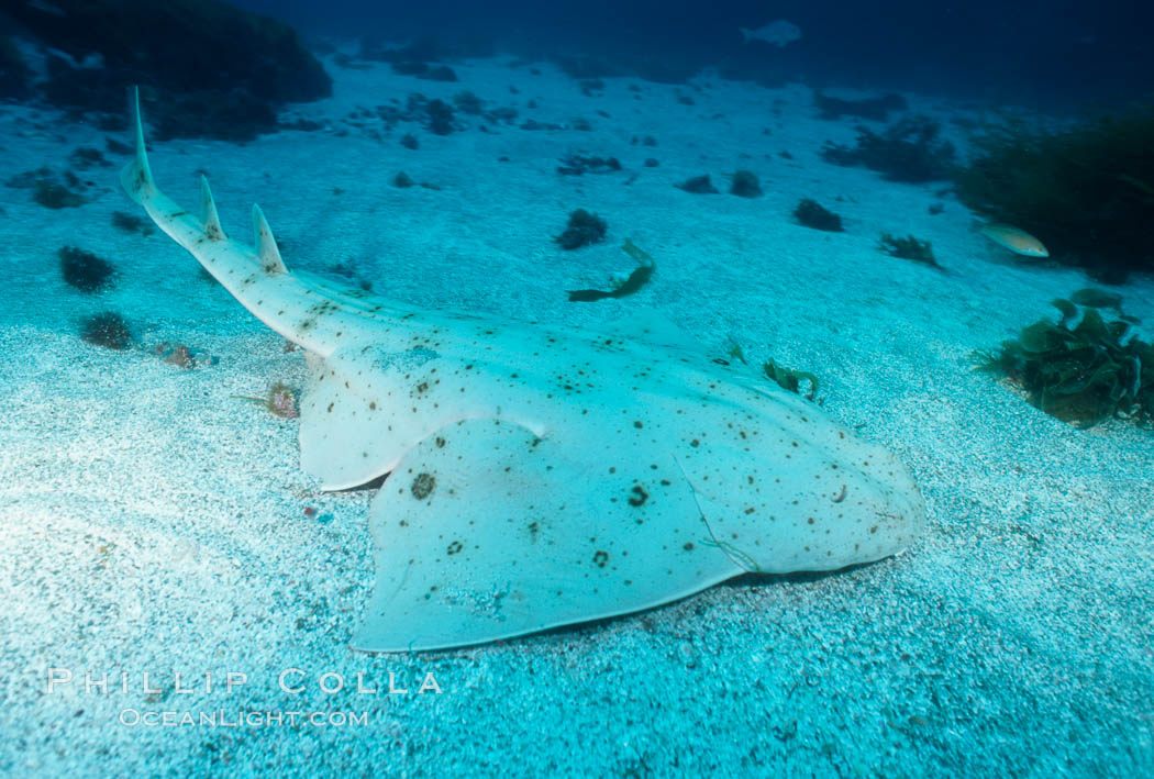 Angel shark, Islas San Benito. San Benito Islands (Islas San Benito), Baja California, Mexico, Squatina californica, natural history stock photograph, photo id 05794