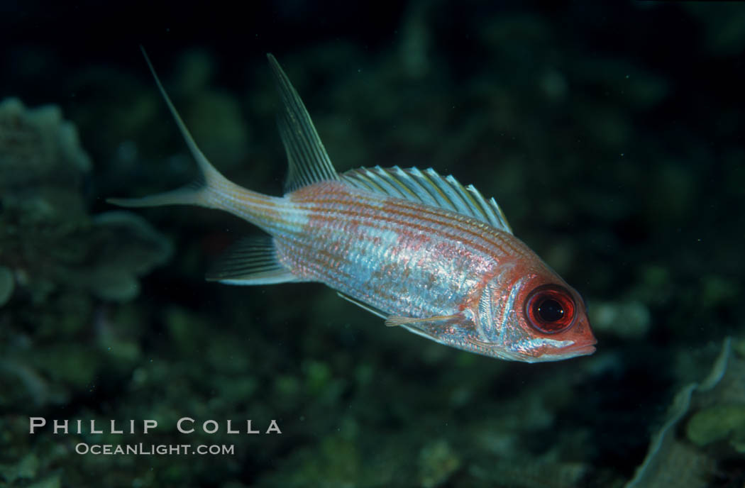 Squirrelfish. Roatan, Honduras, Sargocentron, natural history stock photograph, photo id 05221