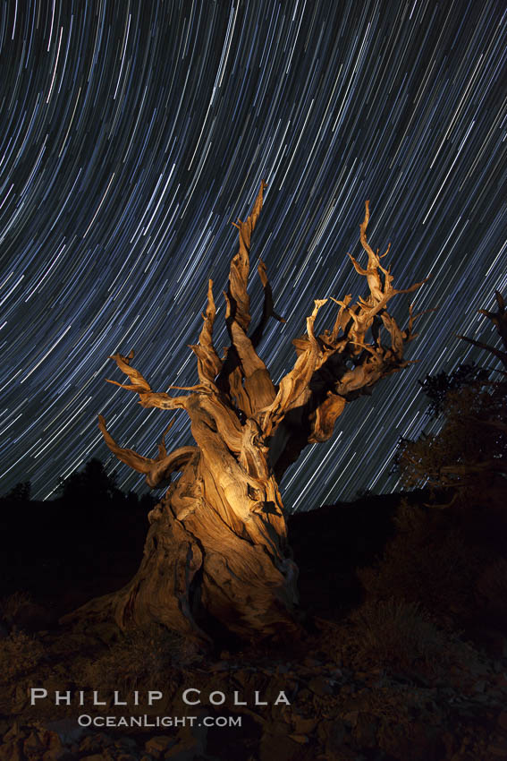 Stars trails above ancient bristlecone pine trees, in the White Mountains at an elevation of 10,000' above sea level.  These are some of the oldest trees in the world, reaching 4000 years in age. Ancient Bristlecone Pine Forest, White Mountains, Inyo National Forest, California, USA, Pinus longaeva, natural history stock photograph, photo id 27798