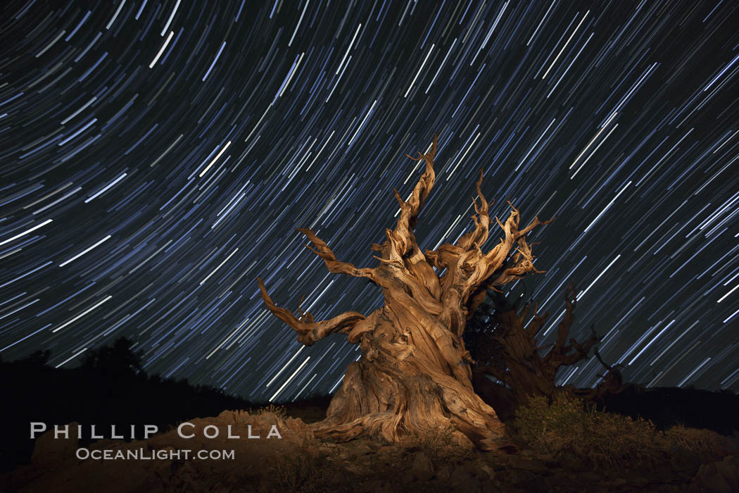 Stars trails above ancient bristlecone pine trees, in the White Mountains at an elevation of 10,000' above sea level.  These are some of the oldest trees in the world, reaching 4000 years in age. Ancient Bristlecone Pine Forest, White Mountains, Inyo National Forest, California, USA, Pinus longaeva, natural history stock photograph, photo id 27797