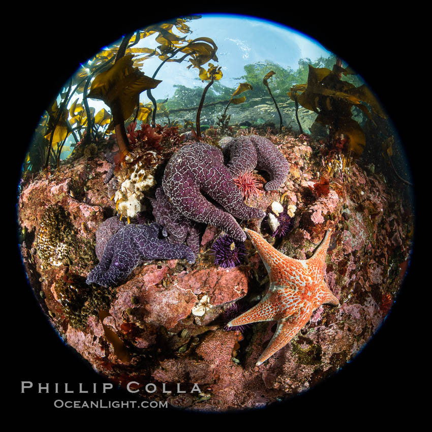 Starfish cling to a rocky reef, surrounded by other colorful invertebrate life. Browning Pass, Vancouver Island. British Columbia, Canada, natural history stock photograph, photo id 35512