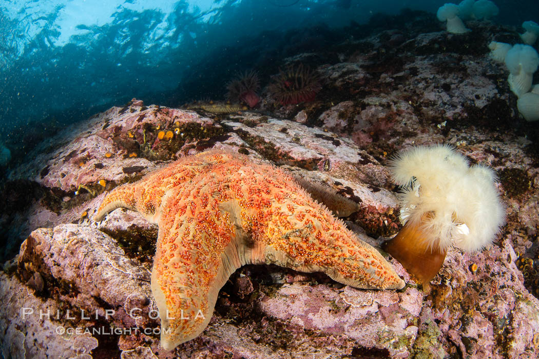 Starfish cling to a rocky reef, surrounded by other colorful invertebrate life. Browning Pass, Vancouver Island. British Columbia, Canada, natural history stock photograph, photo id 35455
