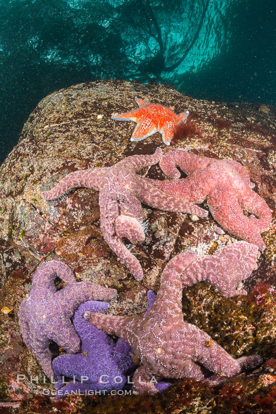 Image 34336, Colorful starfish cling to submarine rocks, on the subtidal reef, Browning Pass, Vancouver Island. British Columbia, Canada