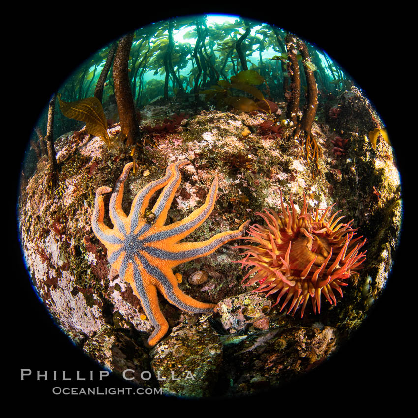 Colorful starfish (sea stars) cling to the reef, covered with invertebrate life. Browning Pass, Vancouver Island. British Columbia, Canada, natural history stock photograph, photo id 35358