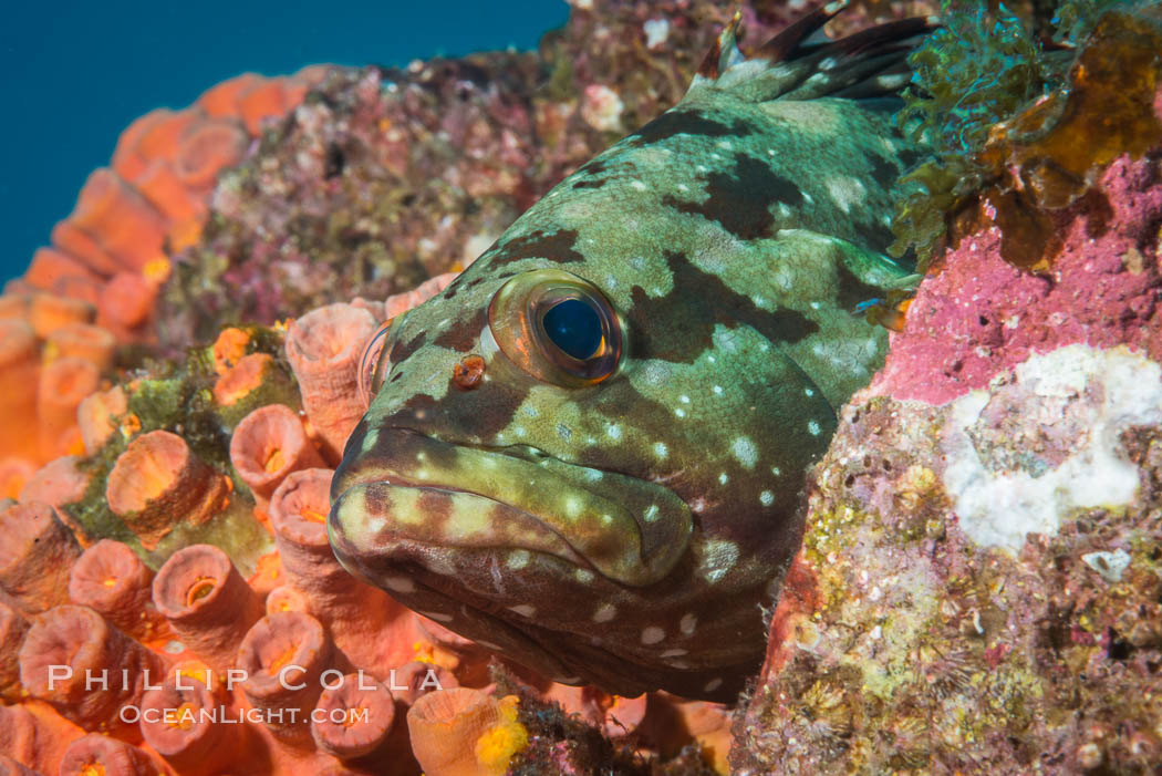 Starry grouper, Sea of Cortez, Baja California, Mexico. Isla Las Animas, natural history stock photograph, photo id 33680