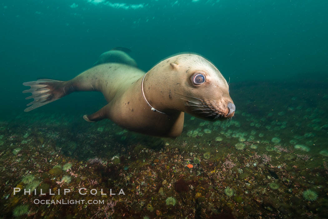 Steller sea lion entanglement, line wrapped around the sea lion's neck,  injury and infection from the wound can weaken and kill the animal, Norris Rocks, Hornby Island, British Columbia, Canada., Eumetopias jubatus, natural history stock photograph, photo id 32668