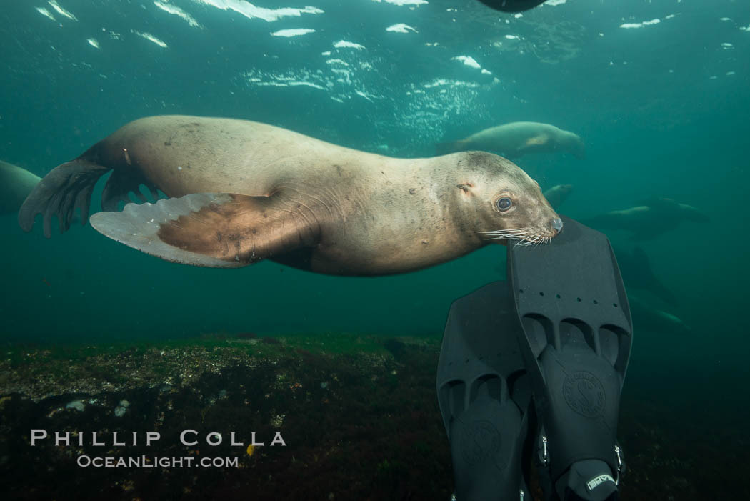Steller sea lion nibbles my fin, curiousity and playfulness, Norris Rocks, Hornby Island, British Columbia, Canada. Hornby Island, British Columbia, Canada, Eumetopias jubatus, natural history stock photograph, photo id 32722