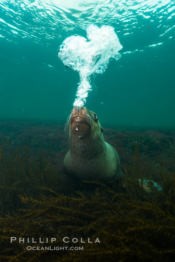 Steller sea lion underwater bubble display, Norris Rocks, Hornby Island, British Columbia, Canada. Hornby Island, British Columbia, Canada, Eumetopias jubatus, natural history stock photograph, photo id 32801