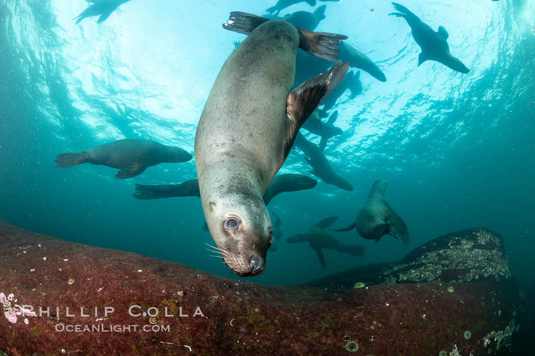 Steller sea lion underwater, Norris Rocks, Hornby Island, British Columbia, Canada., Eumetopias jubatus, natural history stock photograph, photo id 36054