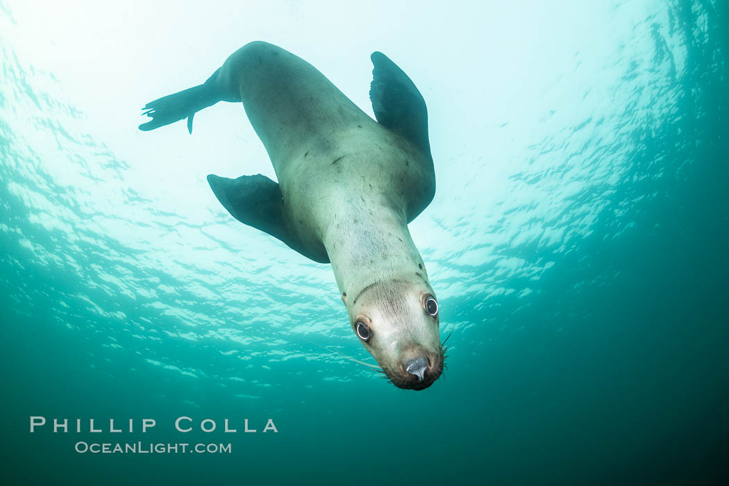 Steller sea lion underwater, Norris Rocks, Hornby Island, British Columbia, Canada., Eumetopias jubatus, natural history stock photograph, photo id 36055
