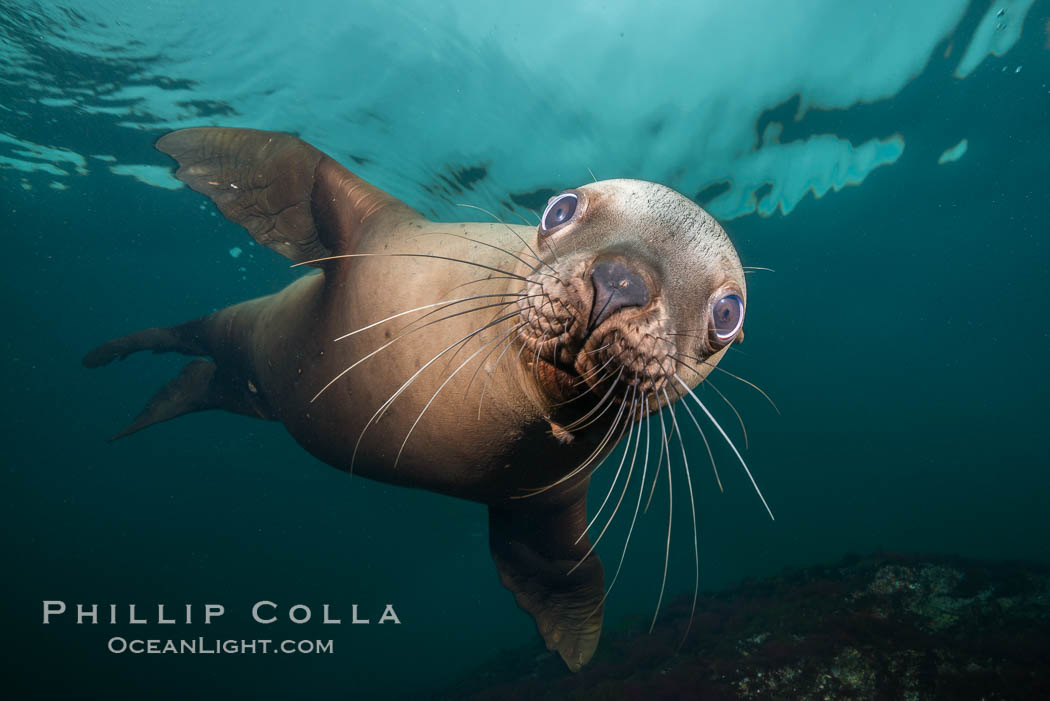 Steller sea lion underwater, Norris Rocks, Hornby Island, British Columbia, Canada. Hornby Island, British Columbia, Canada, Eumetopias jubatus, natural history stock photograph, photo id 32670