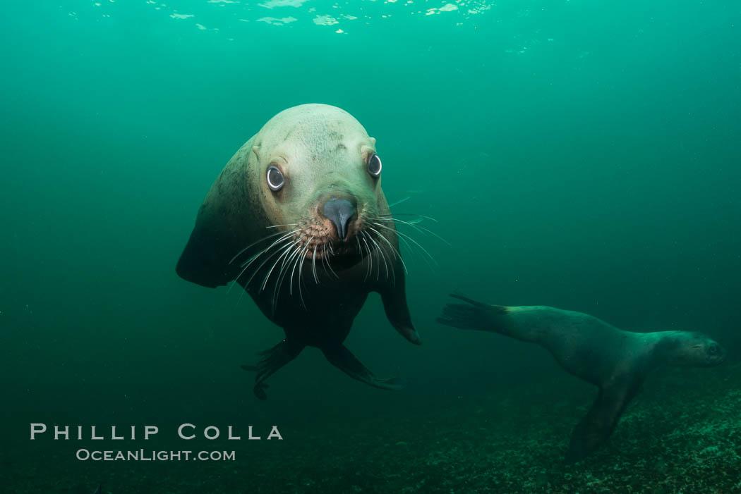 Steller sea lion underwater, Norris Rocks, Hornby Island, British Columbia, Canada. Hornby Island, British Columbia, Canada, Eumetopias jubatus, natural history stock photograph, photo id 32686