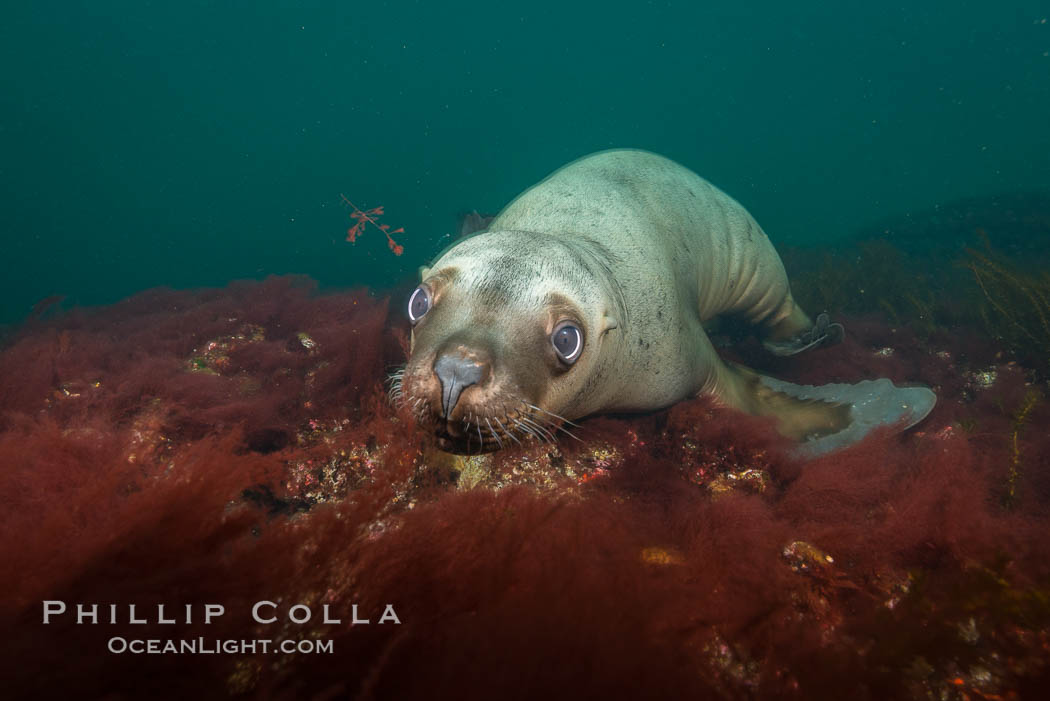 Steller sea lion underwater, Norris Rocks, Hornby Island, British Columbia, Canada., Eumetopias jubatus, natural history stock photograph, photo id 32690