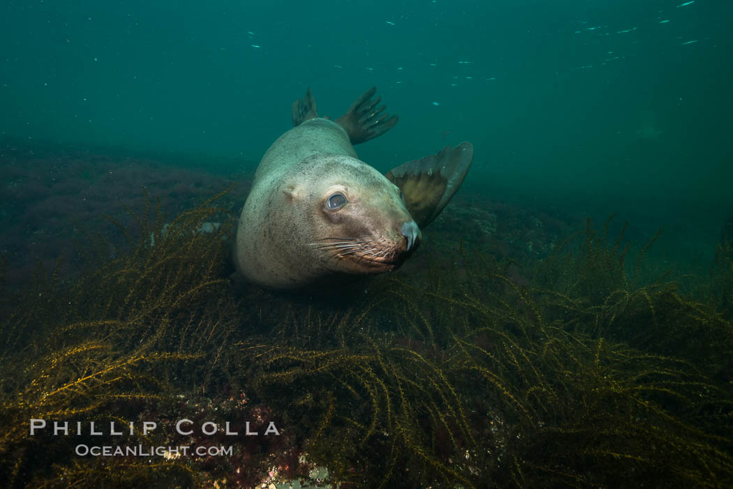 Steller sea lion underwater, Norris Rocks, Hornby Island, British Columbia, Canada. Hornby Island, British Columbia, Canada, Eumetopias jubatus, natural history stock photograph, photo id 32710