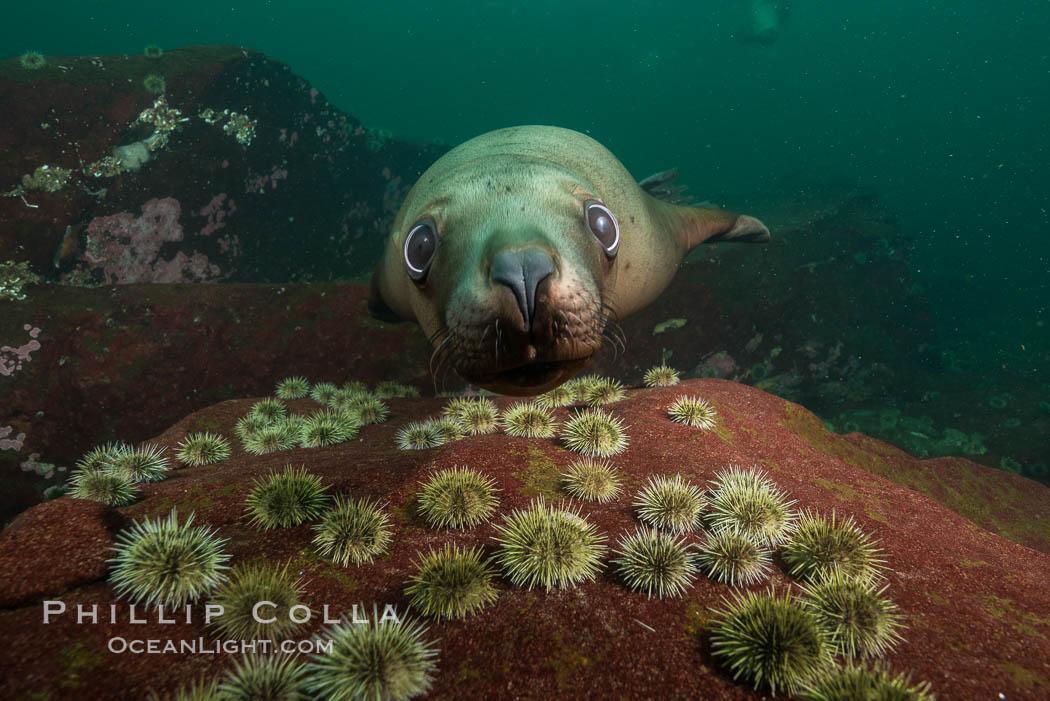 Image 32718, Steller sea lion underwater, Norris Rocks, Hornby Island, British Columbia, Canada. Hornby Island, British Columbia, Canada, Eumetopias jubatus