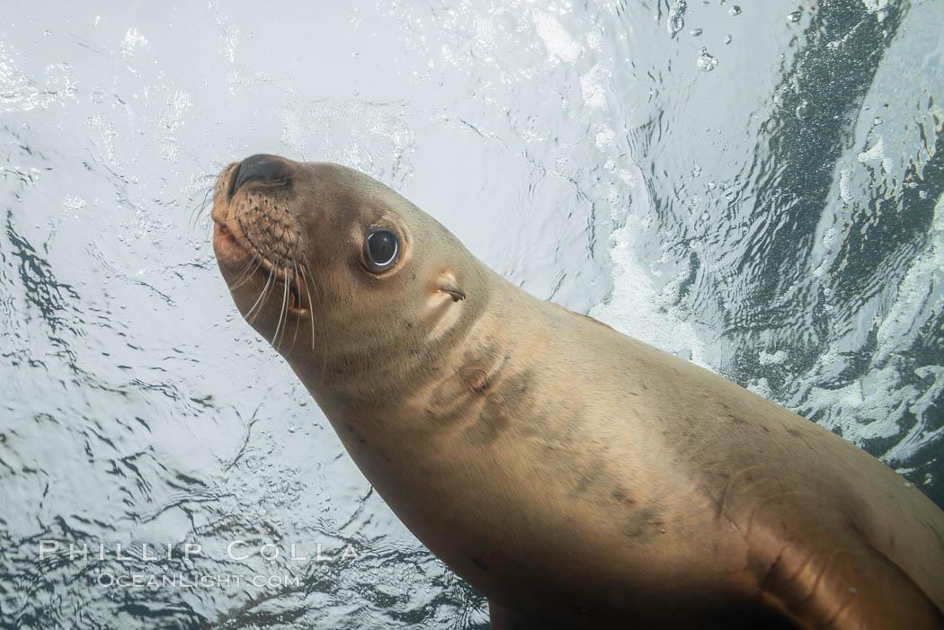 Steller sea lion underwater, Norris Rocks, Hornby Island, British Columbia, Canada. Hornby Island, British Columbia, Canada, Eumetopias jubatus, natural history stock photograph, photo id 32726