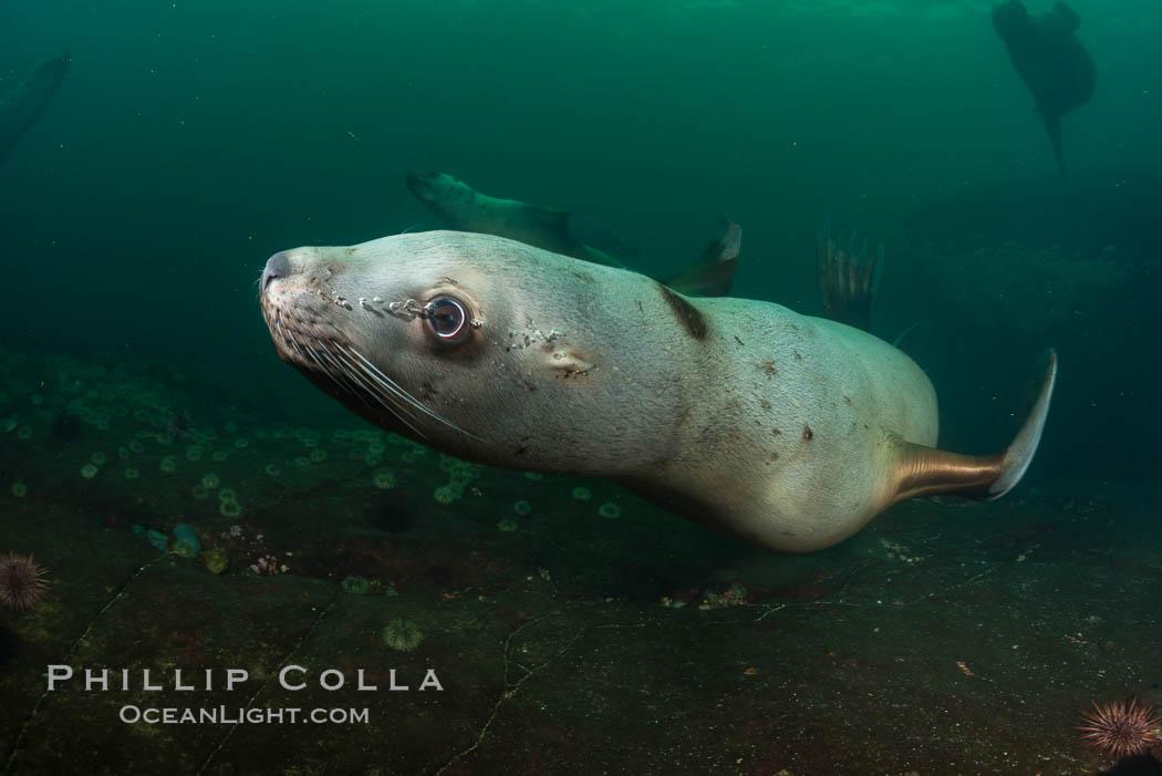 Steller sea lion underwater, Norris Rocks, Hornby Island, British Columbia, Canada. Hornby Island, British Columbia, Canada, Eumetopias jubatus, natural history stock photograph, photo id 32730