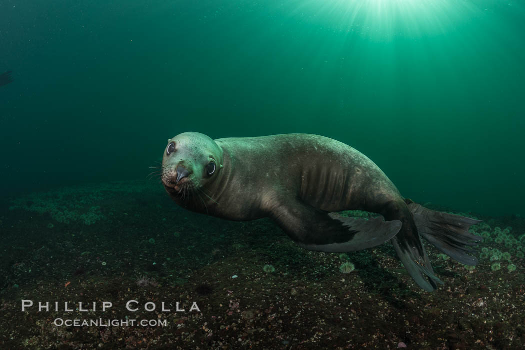 Steller sea lion underwater, Norris Rocks, Hornby Island, British Columbia, Canada. Hornby Island, British Columbia, Canada, Eumetopias jubatus, natural history stock photograph, photo id 32734