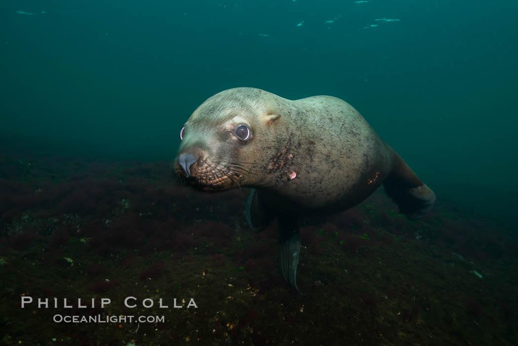 Steller sea lion underwater, Norris Rocks, Hornby Island, British Columbia, Canada. Hornby Island, British Columbia, Canada, Eumetopias jubatus, natural history stock photograph, photo id 32746