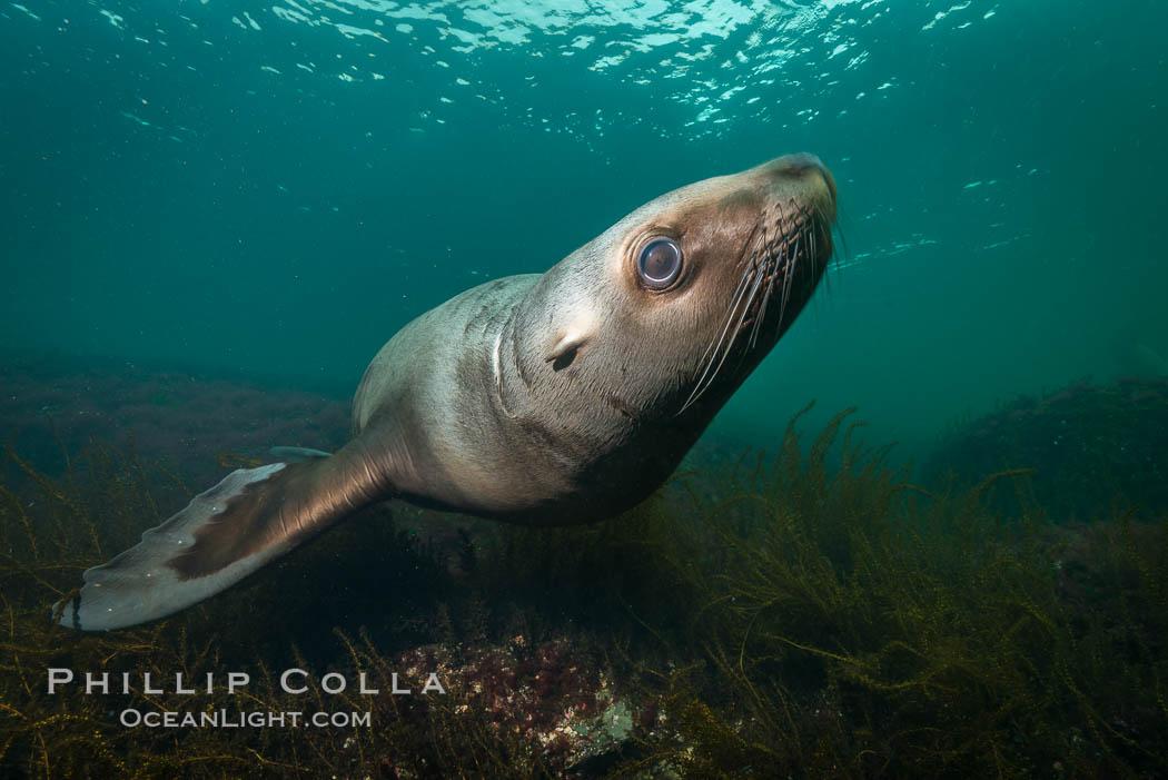 Steller sea lion underwater, Norris Rocks, Hornby Island, British Columbia, Canada. Hornby Island, British Columbia, Canada, Eumetopias jubatus, natural history stock photograph, photo id 32754