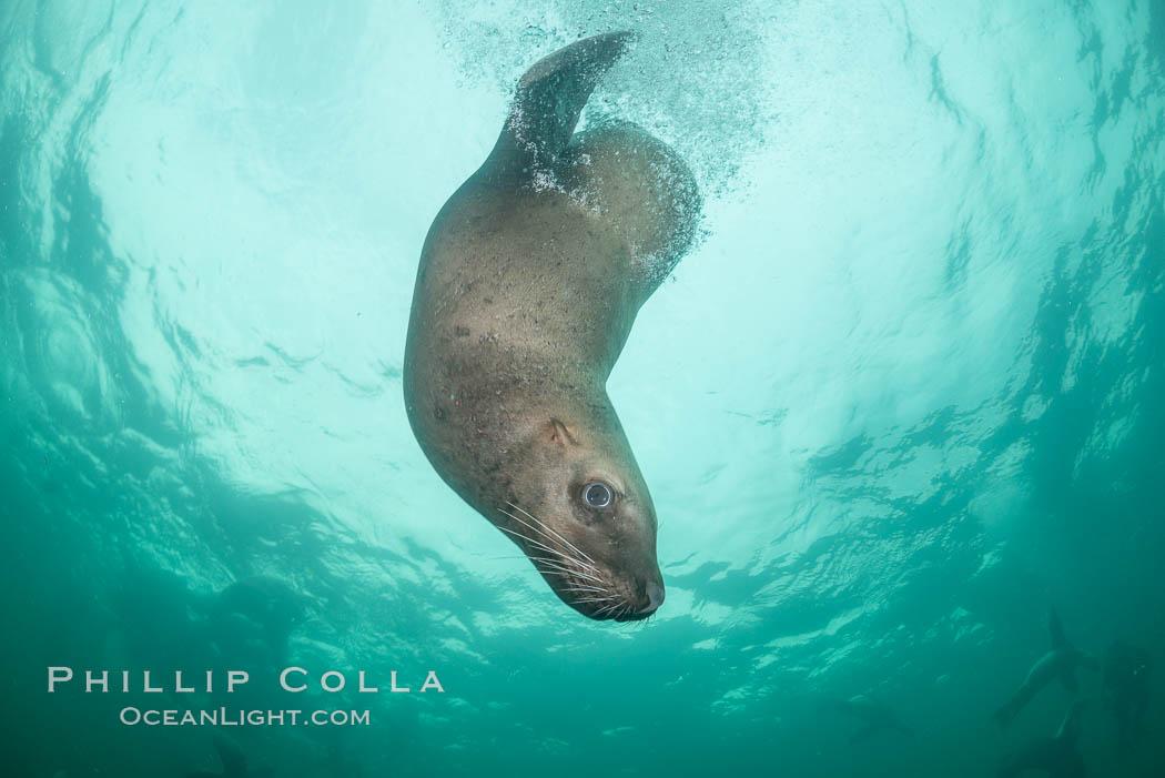 Steller sea lion underwater, Norris Rocks, Hornby Island, British Columbia, Canada. Hornby Island, British Columbia, Canada, Eumetopias jubatus, natural history stock photograph, photo id 32774
