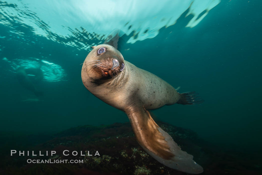 Steller sea lion underwater, Norris Rocks, Hornby Island, British Columbia, Canada., Eumetopias jubatus, natural history stock photograph, photo id 32660
