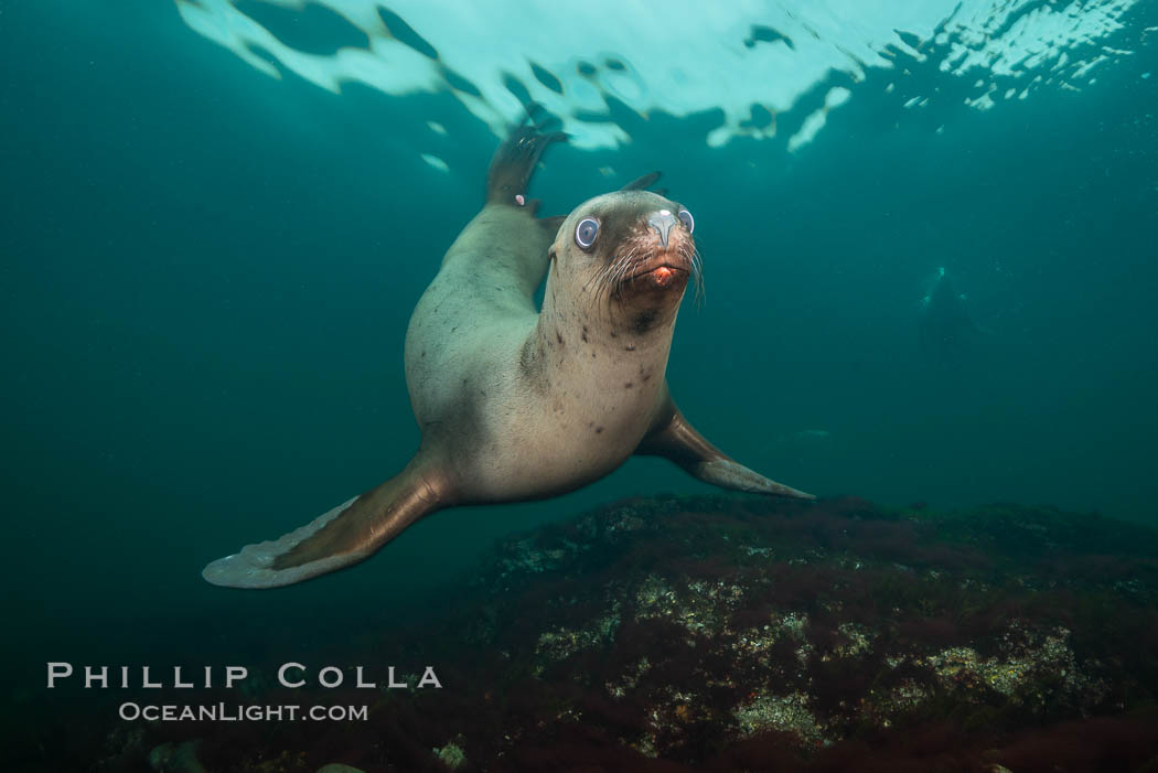 Steller sea lion underwater, Norris Rocks, Hornby Island, British Columbia, Canada., Eumetopias jubatus, natural history stock photograph, photo id 32672