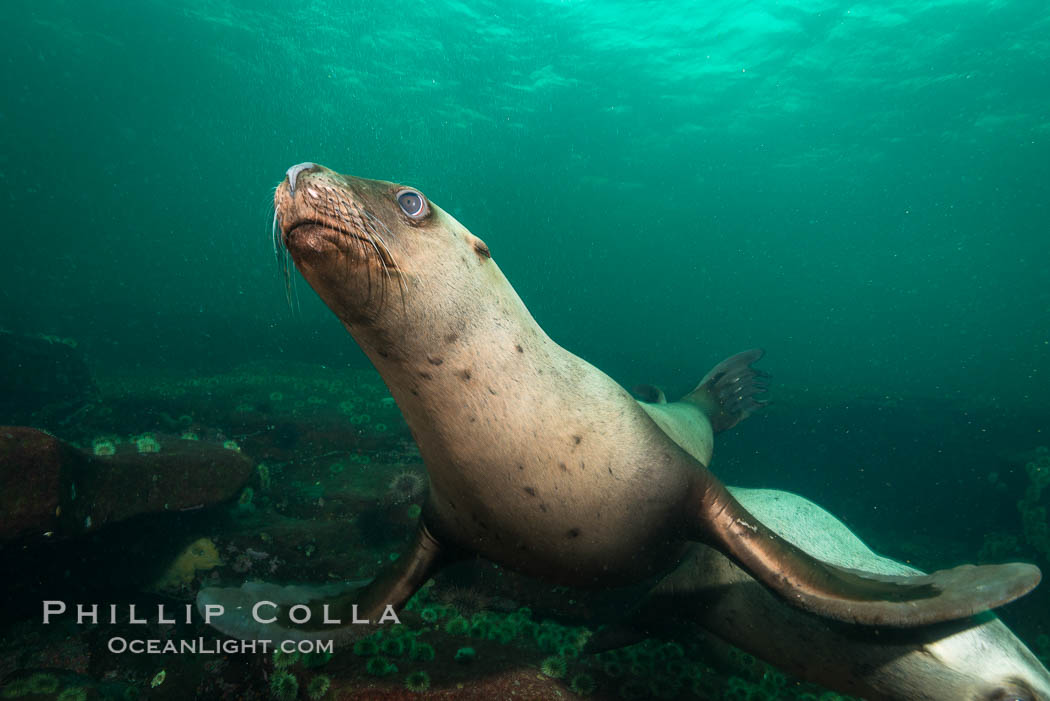 Steller sea lion underwater, Norris Rocks, Hornby Island, British Columbia, Canada. Hornby Island, British Columbia, Canada, Eumetopias jubatus, natural history stock photograph, photo id 32676