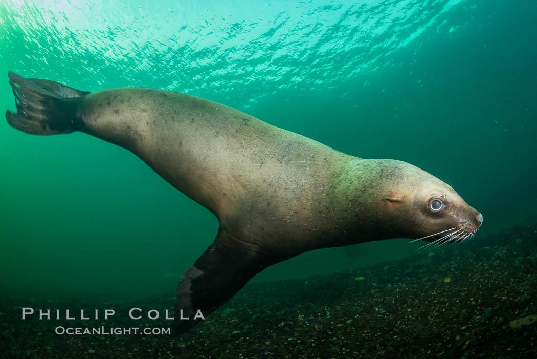 Steller sea lion underwater, Norris Rocks, Hornby Island, British Columbia, Canada. Hornby Island, British Columbia, Canada, Eumetopias jubatus, natural history stock photograph, photo id 32680