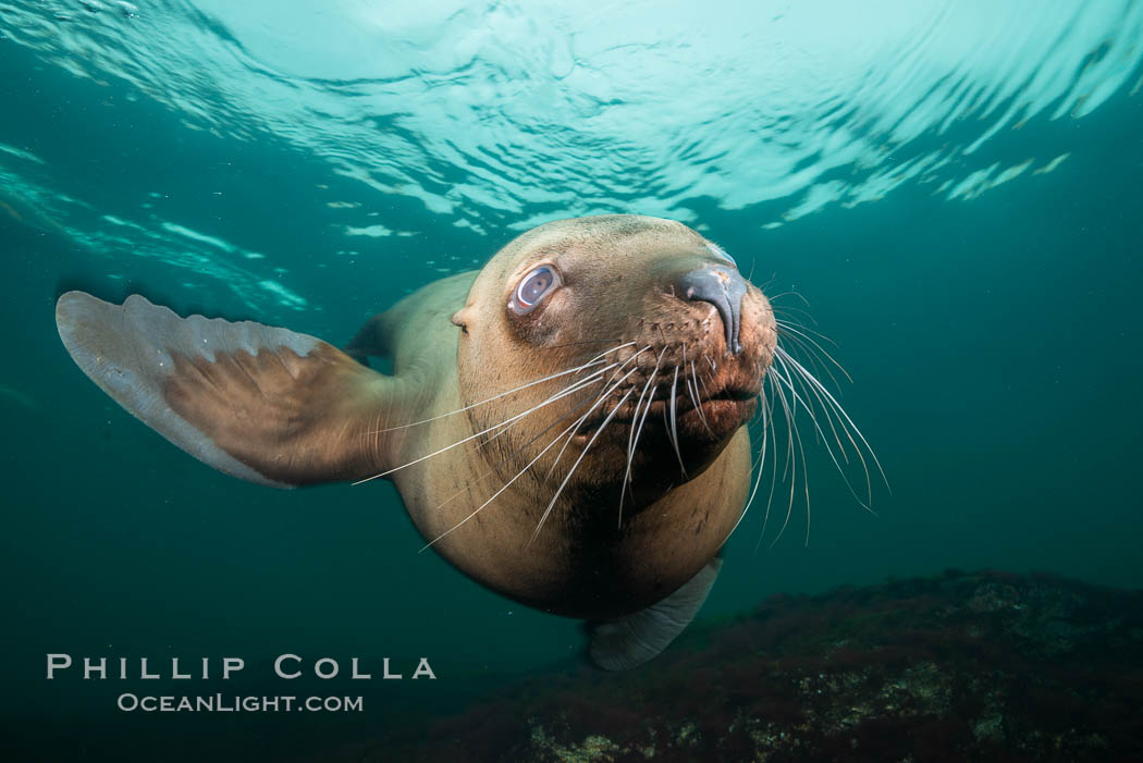 Steller sea lion underwater, Norris Rocks, Hornby Island, British Columbia, Canada. Hornby Island, British Columbia, Canada, Eumetopias jubatus, natural history stock photograph, photo id 32692
