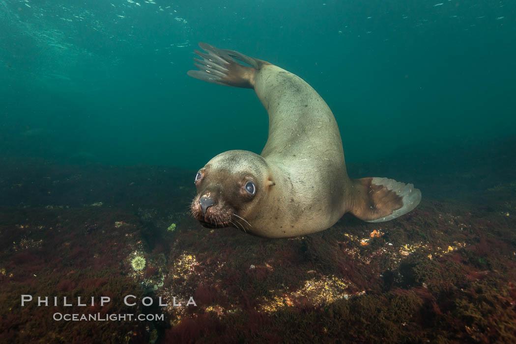 Steller sea lion underwater, Norris Rocks, Hornby Island, British Columbia, Canada. Hornby Island, British Columbia, Canada, Eumetopias jubatus, natural history stock photograph, photo id 32724