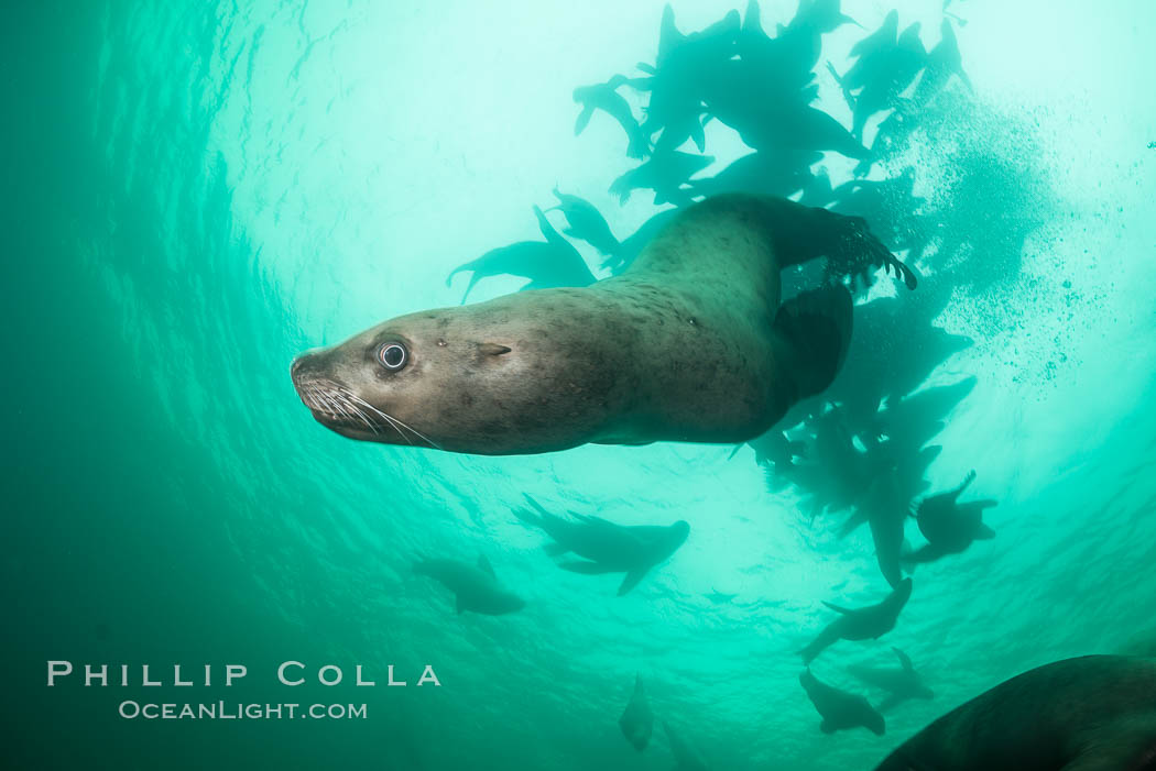 Steller sea lion underwater, Norris Rocks, Hornby Island, British Columbia, Canada. Hornby Island, British Columbia, Canada, Eumetopias jubatus, natural history stock photograph, photo id 32732